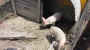White pigs Kalbar Ipswich South Preview