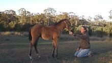 PAINTBRED BUCKSKIN FILLY Gympie Gympie Area Preview
