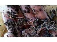 St Rotwürmer Dendrobena Mini-Klein 500 g = 1600 /& 300 ml Spezial-Wurmfutter
