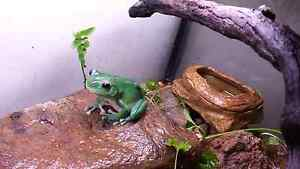 Reduced - Eastern green tree frogs Beechboro Swan Area Preview