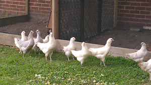 Chickens for sale Chadstone Monash Area Preview