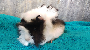 ❤QUALITY CARE GUINEA PIGS HUTCH PACKAGE DEALS STARTUP DEALS Londonderry Penrith Area Preview