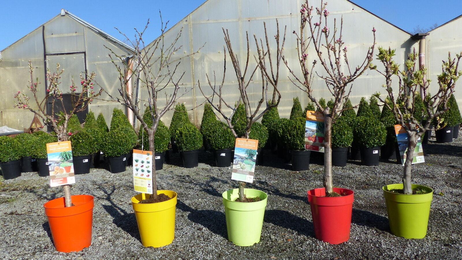 Zwergobst Apfel Pflaume Nektarine Pfirsich Birne Obstbaum 80 - 120 cm
