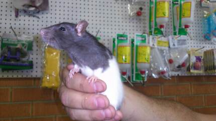 Rats and Mice Rooty Hill Blacktown Area Preview