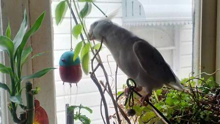 Missing white face cockatiel