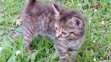 3 kittens available for good homes - 8 weeks old Burpengary Caboolture Area Preview