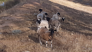 Sheep for sale Royalla Queanbeyan Area Preview