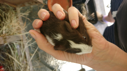 Baby boy male guinea pig. Tiny Tim. Avail 2nd week Dec.