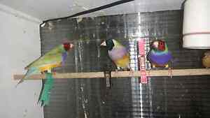 Variety of Finches - Gouldian, Zebra, Fire, Cuban Elizabeth South Playford Area Preview