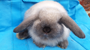 2 ADORABLE PURE MINI LOP Cranbourne Casey Area Preview