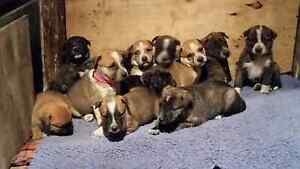 Gorgeous Mastiff X Cattle Dog Pups Tinonee Greater Taree Area Preview