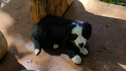 Pure bred long haired Border Collie male
