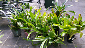 Bromeliads plants ( bargain ) over 20 plants Ryde Ryde Area Preview