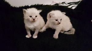 Beautiful  Birman  x ragdoll   kittens Beechboro Swan Area Preview