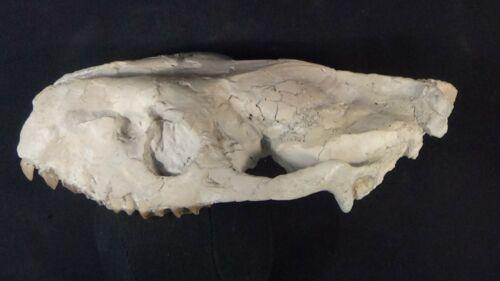 Oligocene White River fossil Oreodont skull Merycoidodon culbertsoni Wyoming