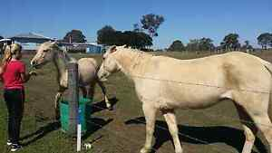 2 palominos for sale Eagleby Logan Area Preview