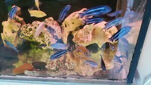 Fish,Cichlids,electric yellow , maingano ,catfish & rock