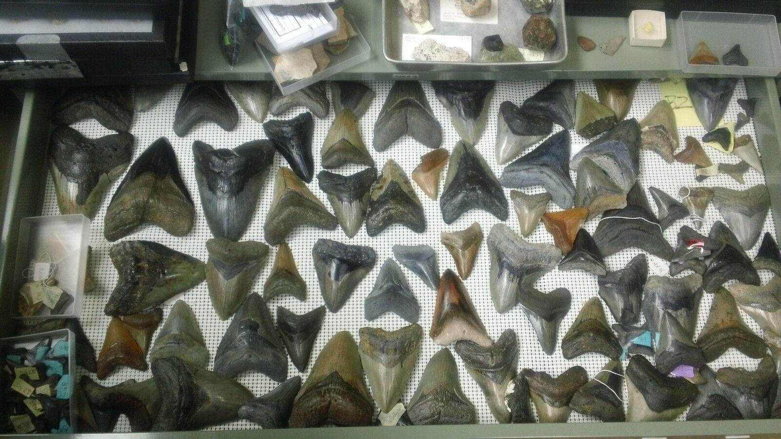 Megalofossils ncfossils@gmail.com