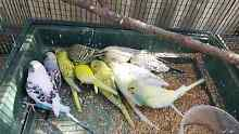 Baby Budgies  $15ea Punchbowl Canterbury Area Preview