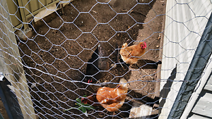 Laying chickens Cessnock Cessnock Area Preview