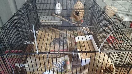 2 Pairs of Star Finches For Sale. Ingleburn Campbelltown Area Preview