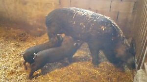 Purebred 2 Year Old Sow For Sale