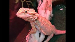 Leather Back Bearded Dragon