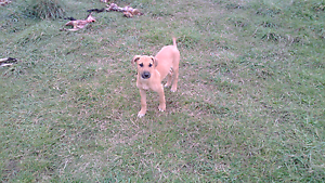 10 week old staghound pups Hillwood George Town Area Preview
