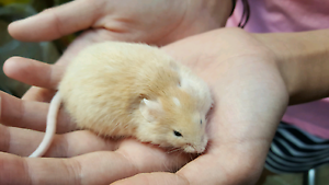 Rescue, Rehabilitate & Rehome pet rats & mice breeders of quality Hendon Charles Sturt Area Preview