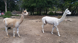 Two Beautiful Alpaca Boys for regretful sale. Galston Hornsby Area Preview