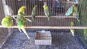 9 male english budgies for sale Ipswich Ipswich City Preview