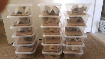 Mealworms  $10 per 100grms