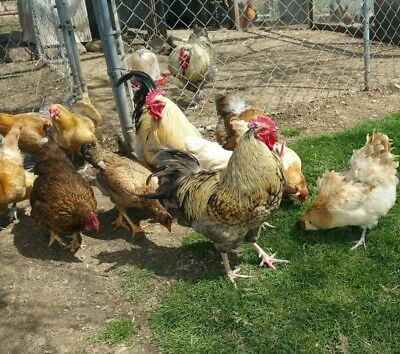 12 Assorted Hatching Eggs Fancy Colorful Barnyard Chicken Standardbantamduck