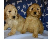 Beautifull litter of golden cockapoo puppies for sale