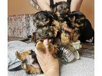 Mini Yorkshire terrier puppies