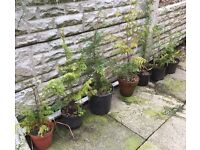 7 cheap conifers for sale-
