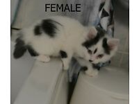 Gorgeous fluffy female kitten for sale