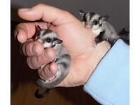 Cute sugar glider baby for sale