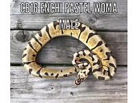 Royal Pythons Enchi Leopard Woma Pewter Cinnamon
