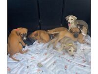 Saluki whippet greyhound puppies