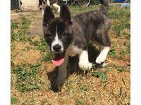 Akita puppies need a loving home