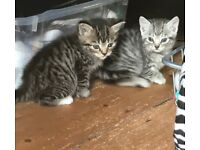 All Reserved!!! Bengal X Kittens