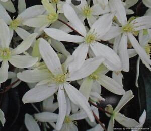 Clematis armandii Snowdrift evergreen fragrant white spring flowering 1litre pot