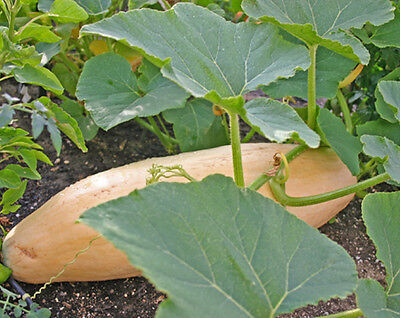Heirloom PINK JUMBO BANANA SQUASH 25 SEEDS Up to 70 POUND GIANT WINTER SQUASH!!