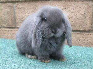 Wanted Holland Lop or French Lop