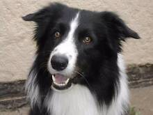 Looking for a Border Collie to go to good home (cross or pure) Wollongong 2500 Wollongong Area Preview