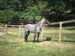 Gimme That Blue Roan Right Now !! (or Buckskin)