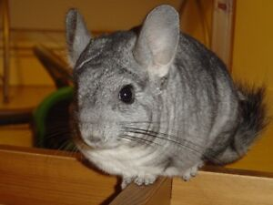 Chinchilla + cage free to good home