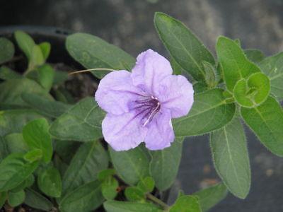 Ruellia humilis WILD PETUNIA Seeds! ()
