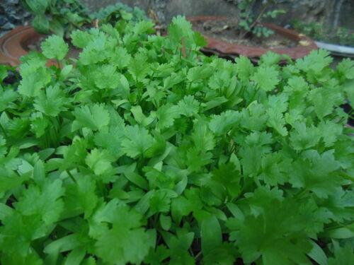 500 Fresh Cilantro/Coriander Seeds NON-GMO, USA Seller